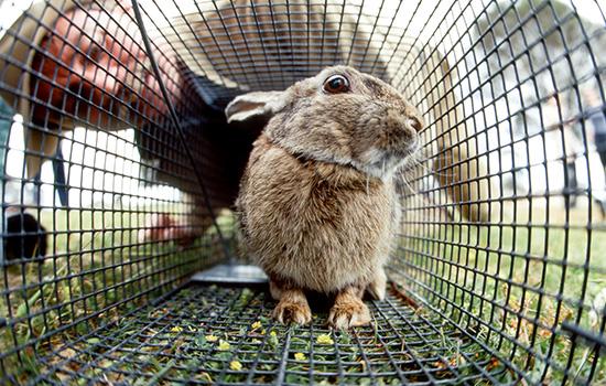 CWBA rabbit